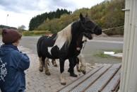 Die Pferde werden auf die Weide gebracht.