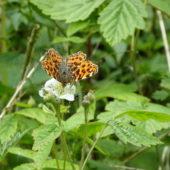 Schmetterling (Landkärtchen (Frühjahrsform))