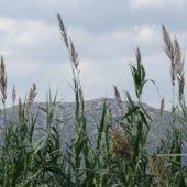 Viel Ried im Feuchtgebiet.